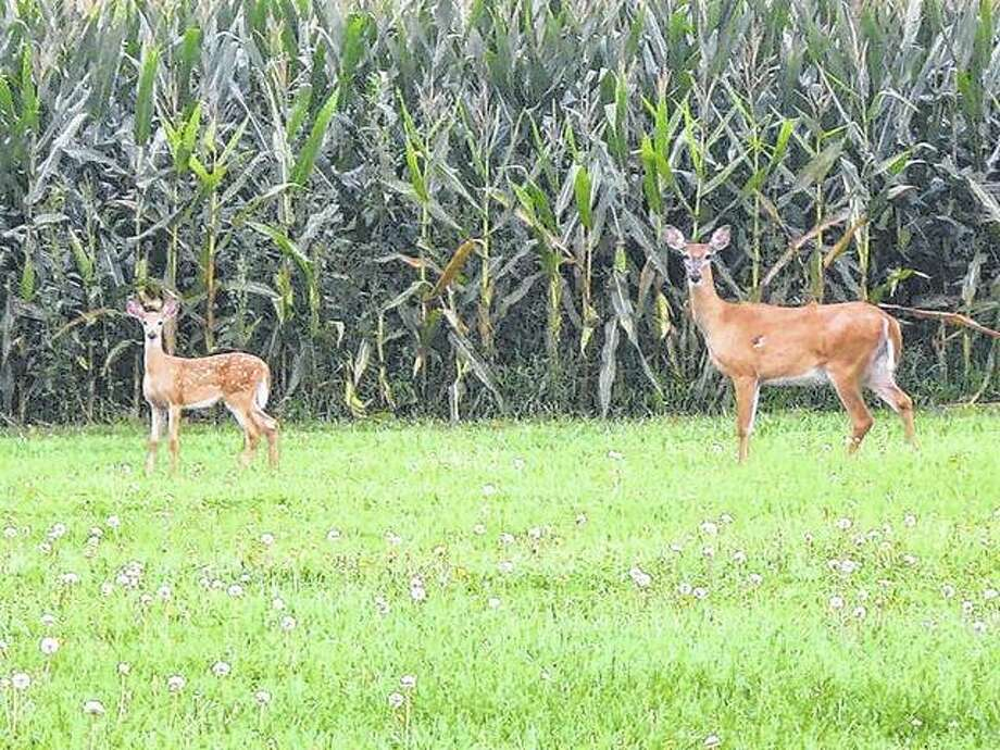 Deer cast curious and cautious glances at a passer-by west of Ripley.