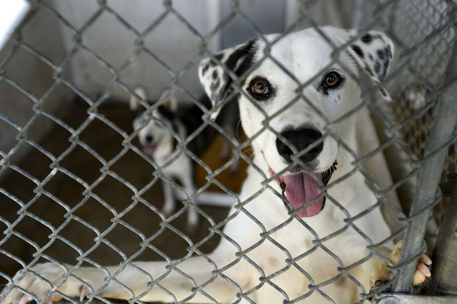 "A dog in its kennel at the Beaumont Animal Care ""Clear the Shelters"" adoption event. The shelter offered dogs and cats for a discounted adoption price of $20.   Photo taken Saturday 8/18/18  Ryan Pelham/The Enterprise Photo: Ryan Pelham / The Enterprise / ©2018 The Beaumont Enterprise"