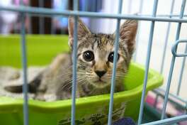 """A cat in its kennel at the Beaumont Animal Care """"Clear the Shelters"""" adoption event. The shelter offered dogs and cats for a discounted adoption price of $20. Photo taken Saturday 8/18/18 Ryan Pelham/The Enterprise"""