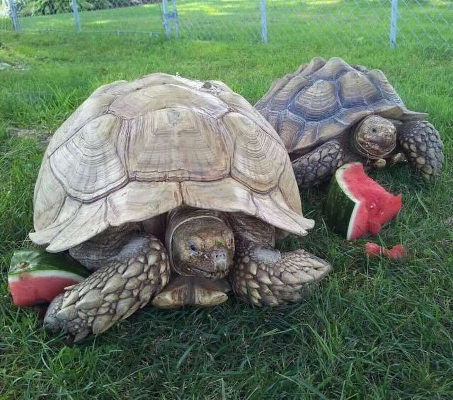 An African spurred tortoise -- resembling the ones pictured here -- was found in the yard of a Coventry home on Aug. 18, 2018. Photo: Contributed / Connecticut Environmental Conservation Police