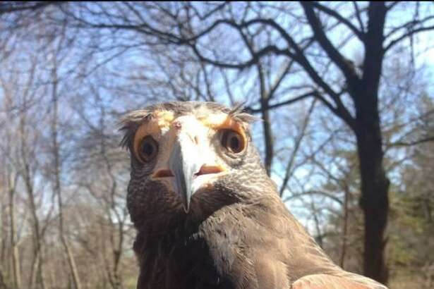 """Connecticut Beardsley Zoo, 1875 Noble Ave., Bridgeport, will host the program ?""""How to Train Your Raptor!?"""" from 7 to 9 p.m. Aug. 22, 2018."""