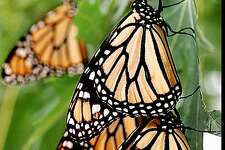 Monarch butterflies rest during their migration on a sugar maple tree in Sioux Falls, S.D., early Wednesday morning, Aug. 28, 1996. The Monarchs fly by daylight, and cling by the hundreds to tree branches overnight, and will spend the winter in southern California and the mountains of central Mexico. (AP Photo/Argus Leader, Lloyd B. Cunningham)
