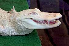 Now is the time to catch the albino alligator at the Maritime Aquarium at Norwalk. The rare reptile is only around for the summer. It departs Sept. 3, 2018.