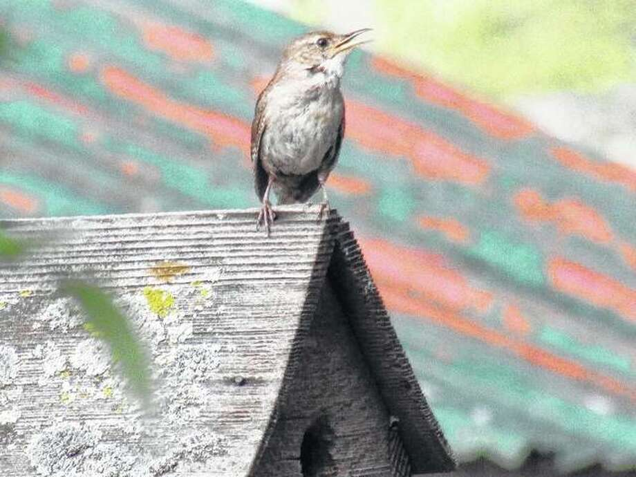 A wren sits on top of its house as it warbles a song. The bird spent a bit of time ducking into and out of the house, which holds its nest.