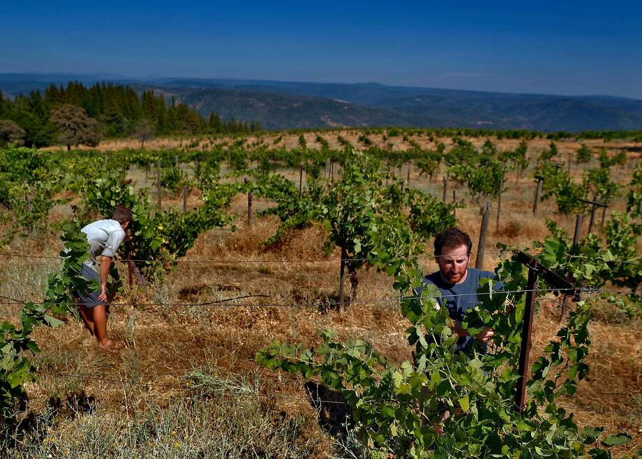 Aaron Mockrish, left, and Dani Rozman tend Syrah vines at the Renaissance vineyard. Through an unlikely chain of events, they have now become the vineyard's caretakers and make wine from its fruit. Photo: Carlos Avila Gonzalez / The Chronicle