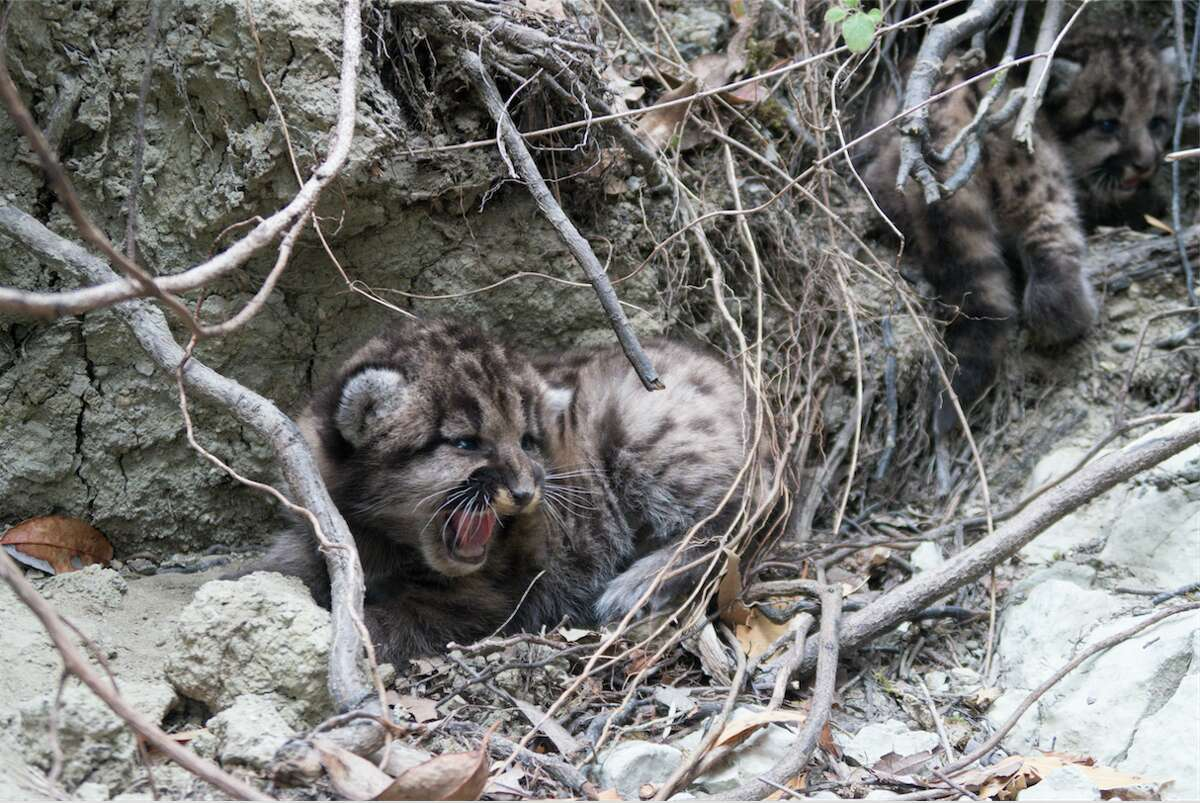 A different set of two mountain lion kittens were photographed on Aug. 15, 2018 after their mom moved them to a new den.