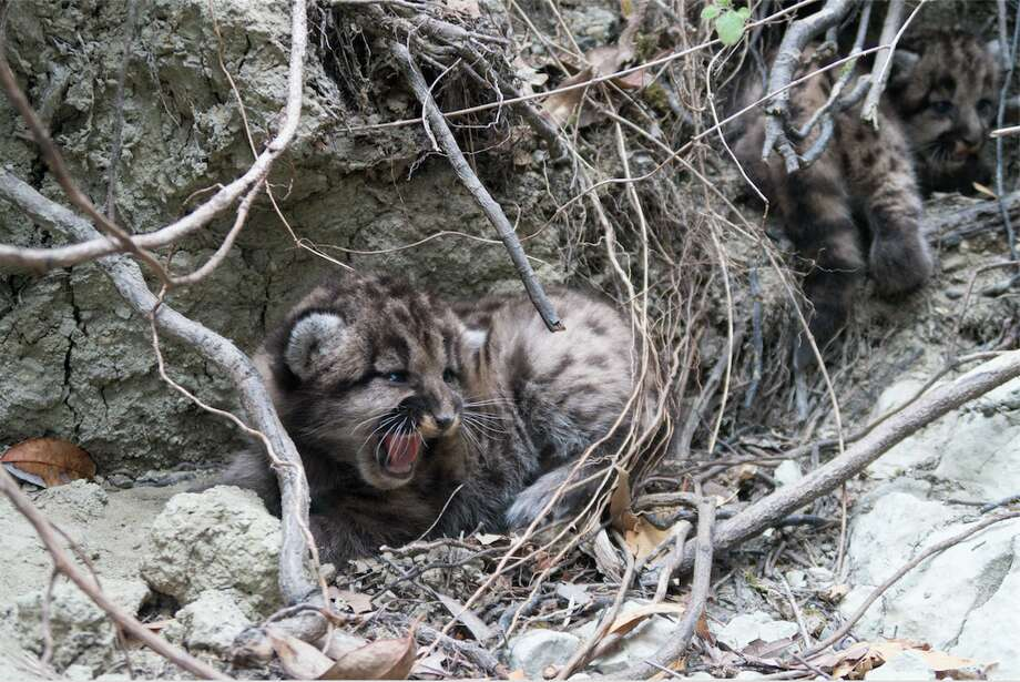 The two mountain lion kittens were photographed on Aug. 15, 2018 after their mom moved them to a new den. Photo: Quinton Martins/Audubon Canyon Ranch