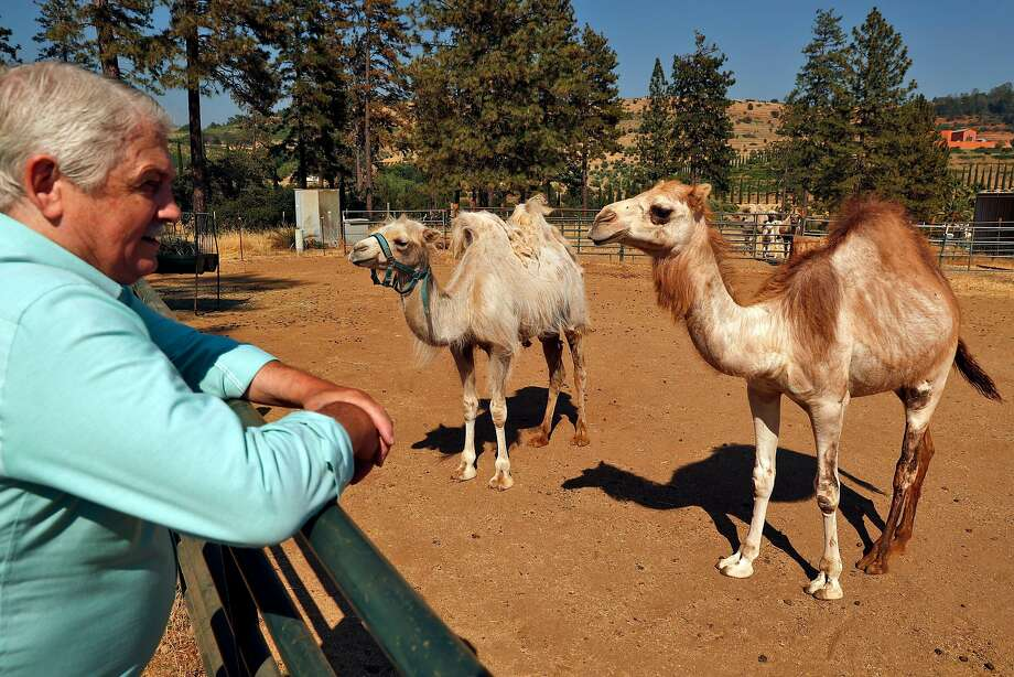 Sales manager John Brooks, Renaissance Winery's last remaining employee, is a member of the Fellowship of Friends. Here, he visits the resident camels at Apollo. Photo: Carlos Avila Gonzalez / The Chronicle