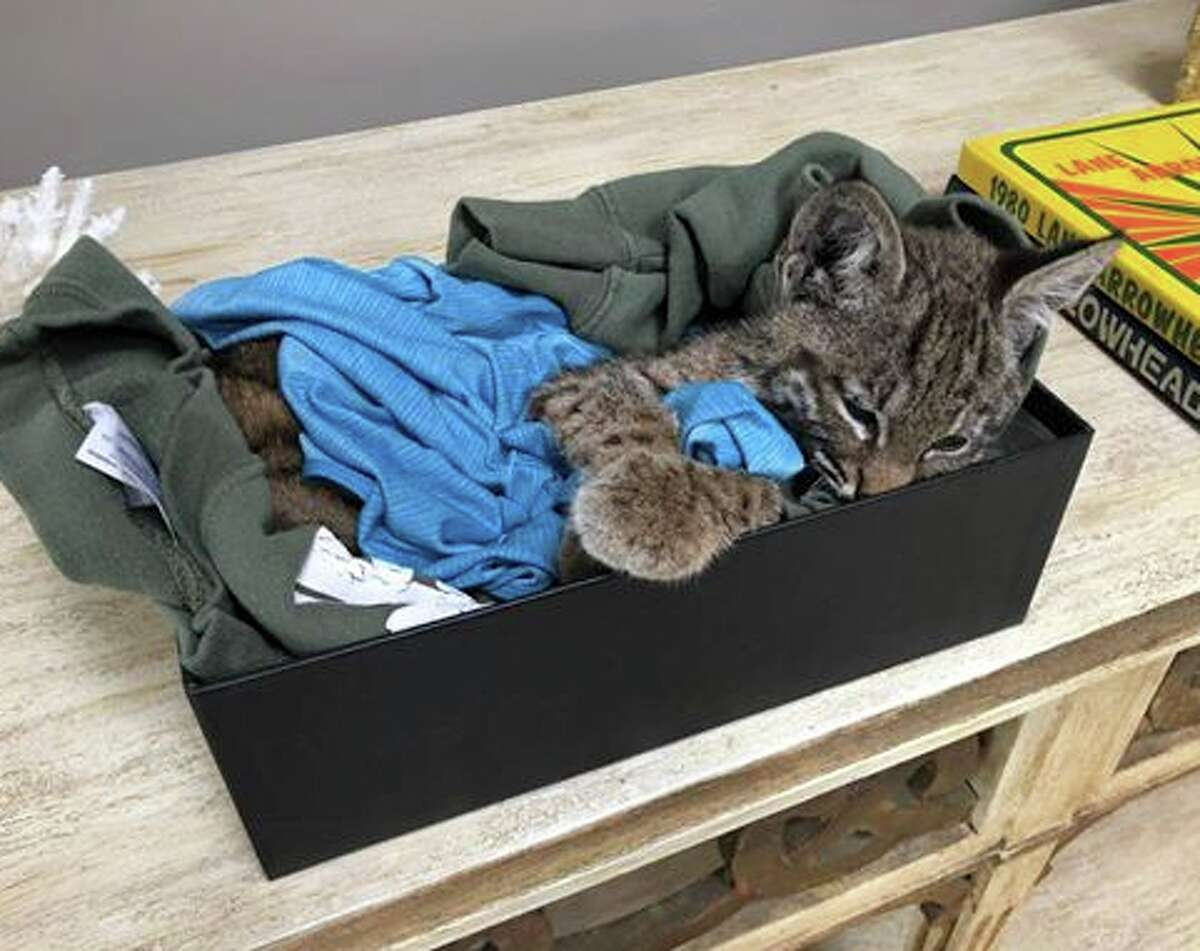 The most recent Marin County rescue bobcat kitten-found Sunday on Lucas Valley Road - sadly died from malnourishment and exposure after he was taken to WildCare in San Rafael. But two other kittens, rescued earlier in San Anselmo, are in good health. Click for more photos. (Photo courtesy of Steffan Postaer.)