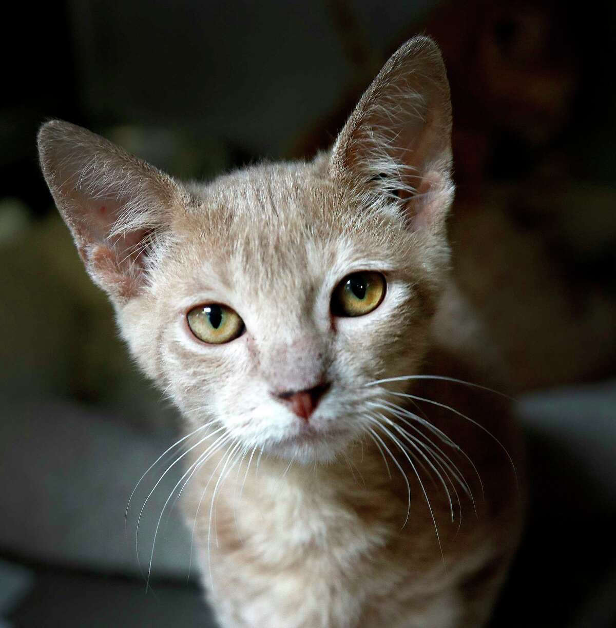 TIGGER: (Animal ID: 1565575) A 13-week-old, male red tabby DSH cat is available for adoption from BARC Animal Shelter, Wednesday, August 22, 2018, in Houston.
