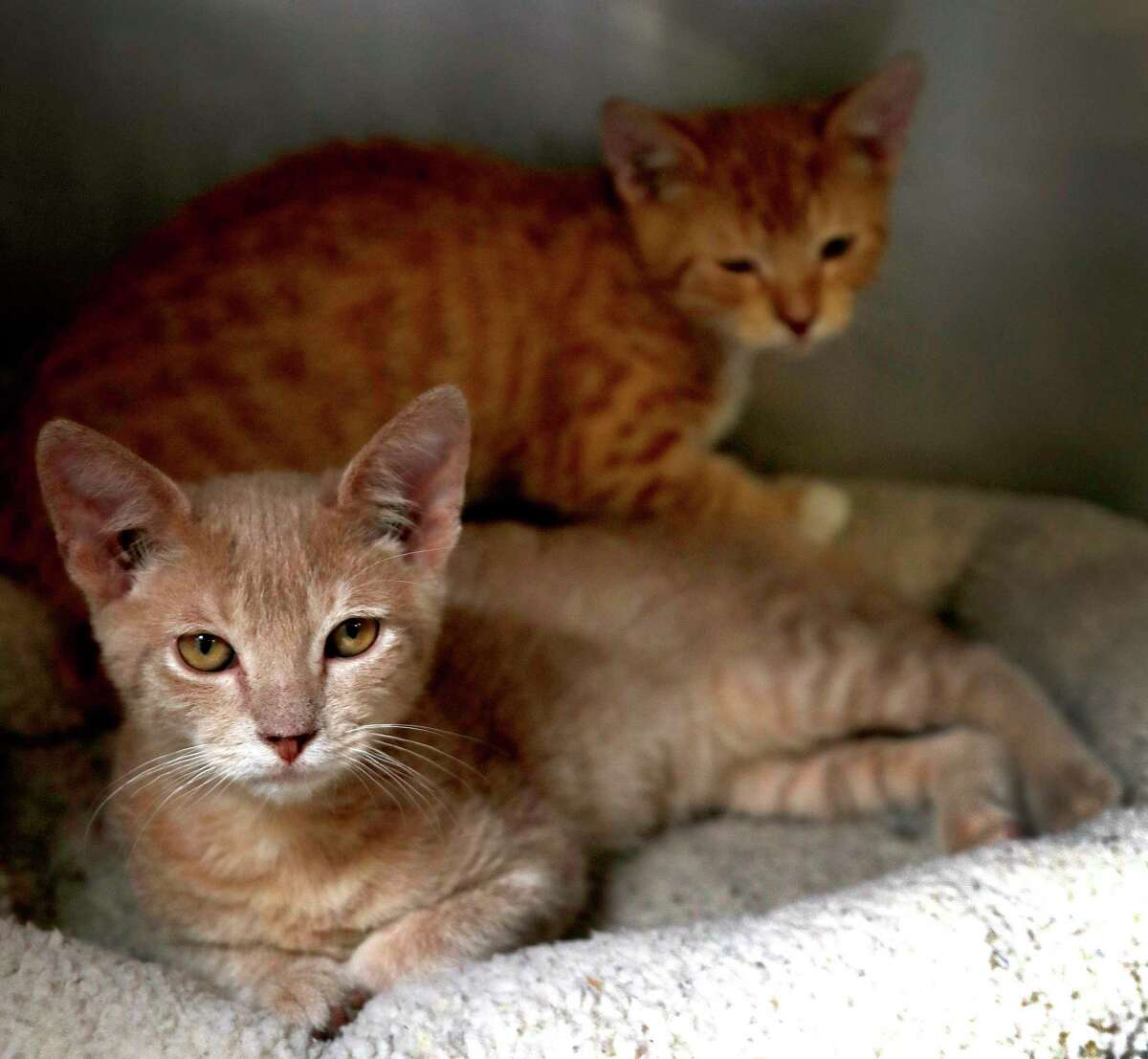 TIGGER: (Animal ID: 1565575) A 13-week-old, male red tabby DSH cat along with brother, TAGGER (Animal ID: 1565574) available for adoption from BARC Animal Shelter, Wednesday, August 22, 2018, in Houston.