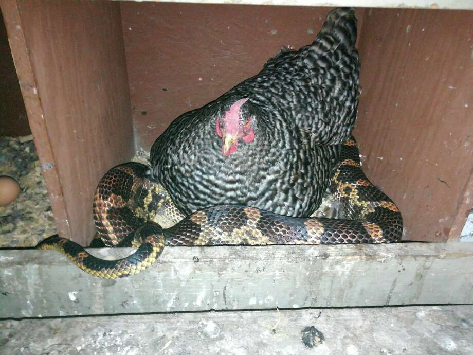PHOTOS: An unlikely pair Sara Allison, of Hull, Texas, found a snake trying to slither underneath her parent's chicken Wednesday night. >>>Swipe through and see a chicken and snake cuddle... Photo: Sara Allison