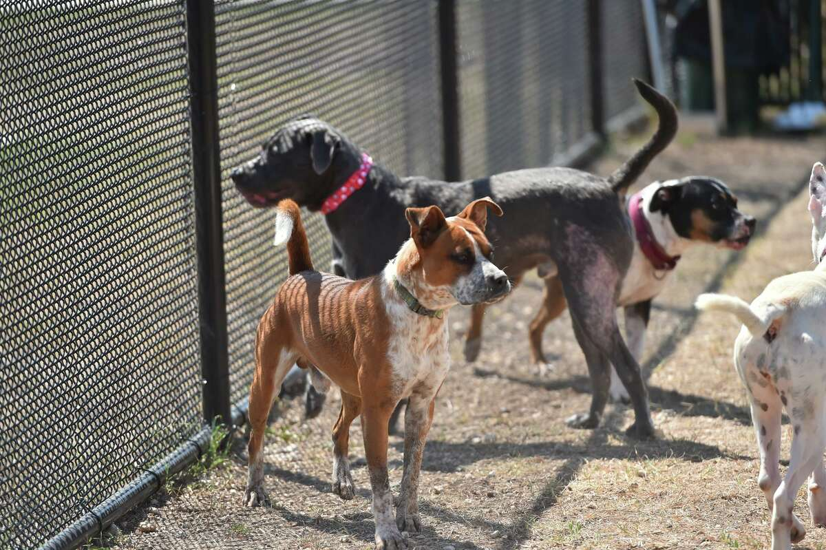 Dogs run through The Big Yard area of animal Care Services. Animal Care Services has worked with shelter dogs in a huge, new training area called