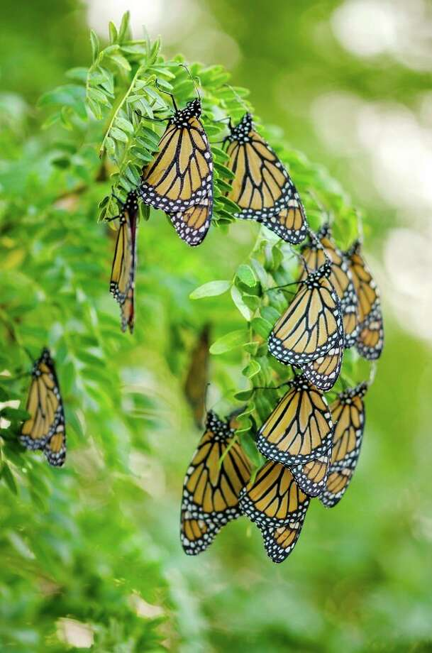 Hundreds of butterflies were recently spotted in Elkton resident Sue Corliss' yard and visited her trees as part of their annual migration to Mexico. (Sue Courliss/Submitted to the Tribune) / © 2018 Susan Courliss