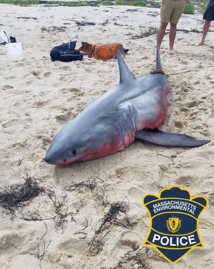 PHOTOS: All washed up A strange looking shark washed up on a Cape Cod beach Thursday. >>>Swipe through and see photos of this sea beast.... Photo: MAEnviroPolice
