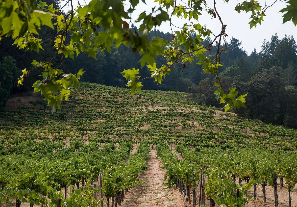 Main vines lead up to the original Riesling vines from 1947 atop a hill at Stony Hill Vineyard in Calistoga, Calif. Tuesday, Aug. 21, 2018.
