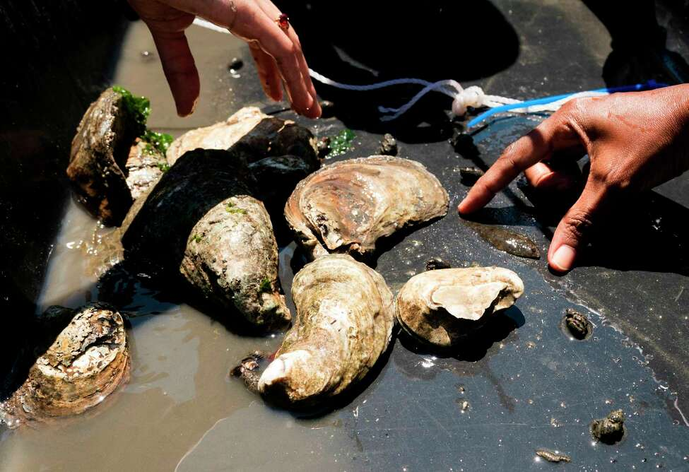 Samples collected by students, workers and volunteers, associated with NY/NJ Baykeeper, as gather marine life data in the waters near Soundview Park July 18, 2018 in New York. The Soundview oyster reef monitoring event brought the group together to perform hands-on oyster reef monitoring and data collection of oysters and other marine life. / AFP PHOTO / Don EMMERTDON EMMERT/AFP/Getty Images