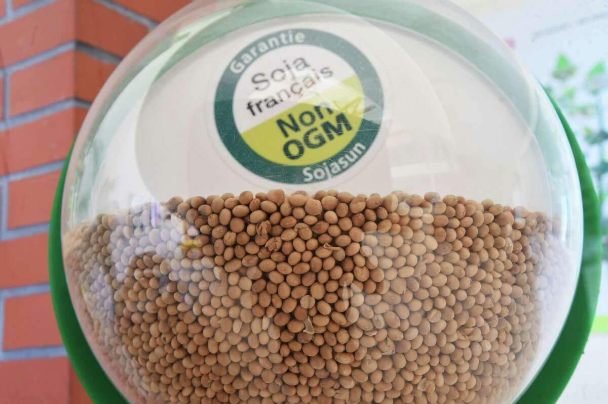 A picture shows GMO-free soybeans at the Sojasun factory in Chateaubourg, western France, on June 27. In fact, however, GMO foods are no less nutritious than conventionally grown crops.