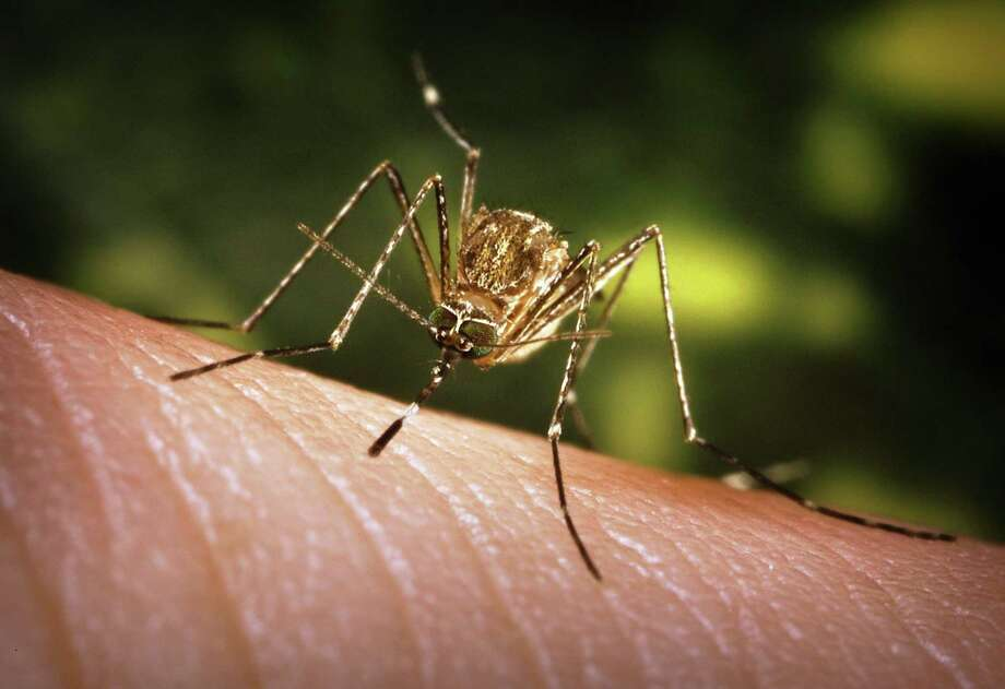 The Culex tarsalis mosquito can spread the West Nile virus to humans. Photo: File Photo / Internal