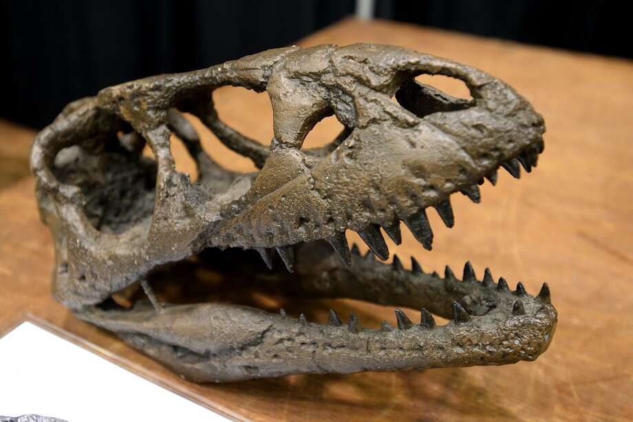 A Dilong skull at the Dinosaur George traveling exhibit at the Beaumont Civic Center. The exhibit brought more than 150 authentic and replica dinosaur fossils. Photo: Ryan Pelham / The Enterprise / ©2018 The Beaumont Enterprise