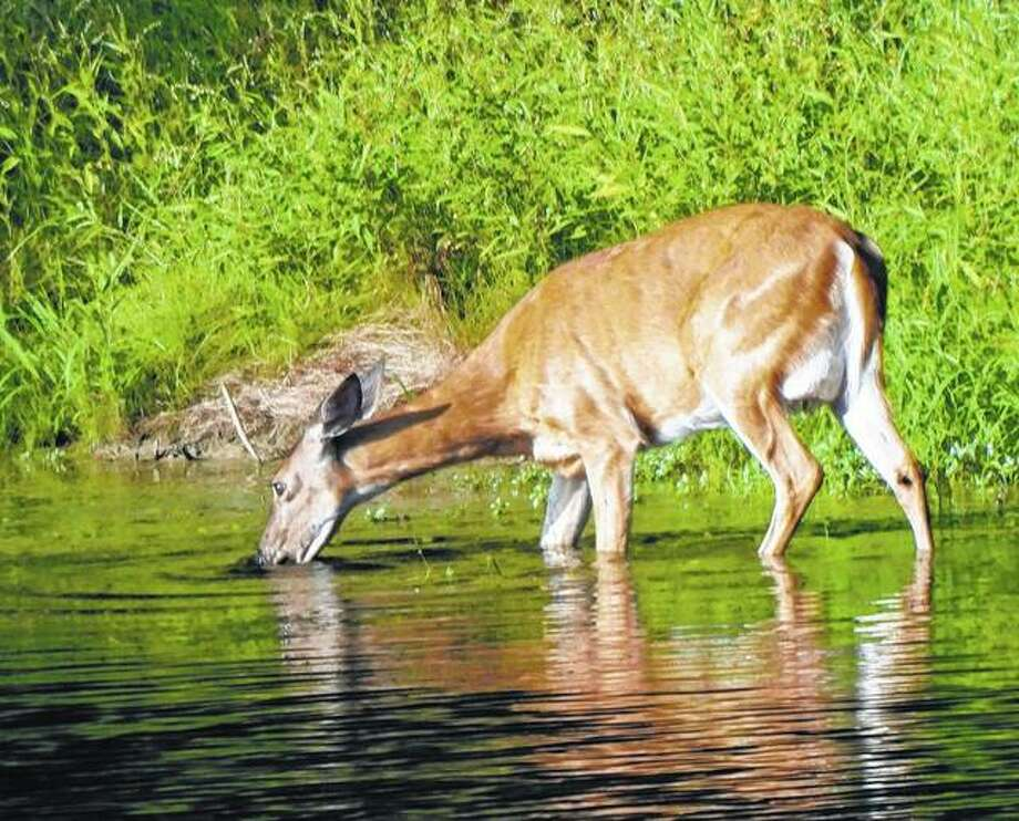 A deer found a place to cool off and get a drink at the same time.