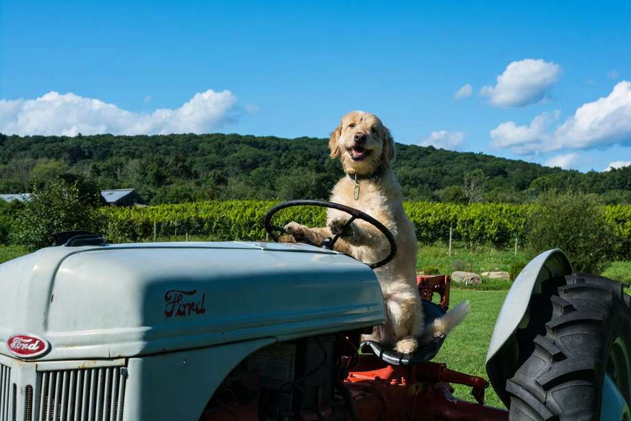 """Marley at Hopkins Vineyard in New Preston, Conn.""