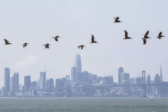 A pod of Brown Pelicans fly along Middle Harbor Shoreline Park in Oakland with the San Francisco skyline in the background on Wednesday, August 15, 2018.
