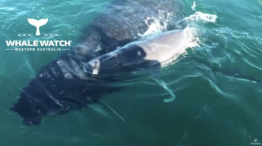 A screenshot from the video shows the humpback calf on its mother's back for protection.