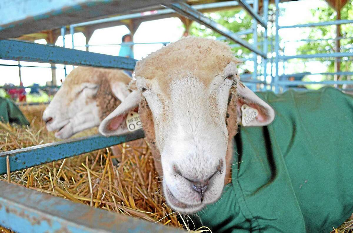 Sheep, goats and cows will be waiting for visitors at the 106th Annual Goshen Fair, which runs Saturday to Monday. Click here for more details.
