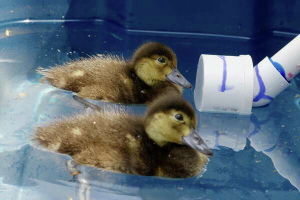 In a photo provided by the University of Delaware, ducks participate in an underwater-hearing research project. To develop acoustic warning devices that might save sea ducks from getting caught in fishing nets, scientists are studying their underwater hearing. (University of Delaware via The New York Times)