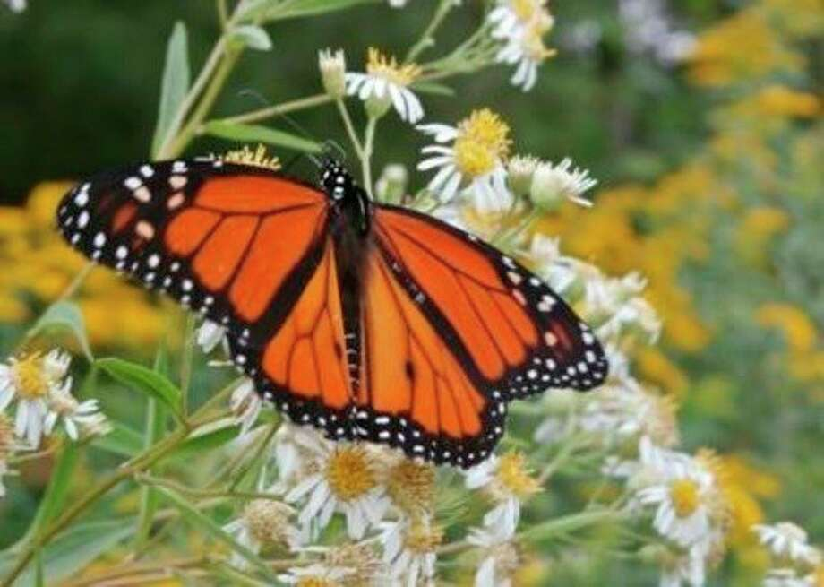 This monarch butterfly was enjoying the flowers Sunday at the McLean Nature Preserve in northwestern Bay County. An open house is Thursday. (Photo provided)