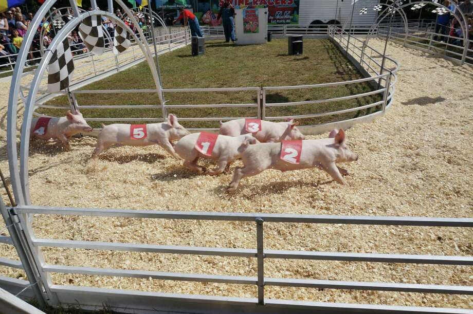 Racing pigs are a yearly feature at the North Haven Fair. Photo: North Haven Fair