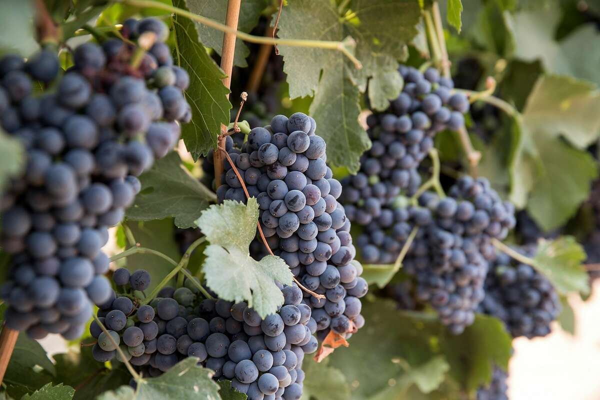 Grapes are seen growing on the vine at Heritage Oak Winery in Acampo, Calif., on Sunday, August 5, 2018. The dog-friendly winery has a great patio outside their tasting room, water available for dogs and a walking path down to the river.