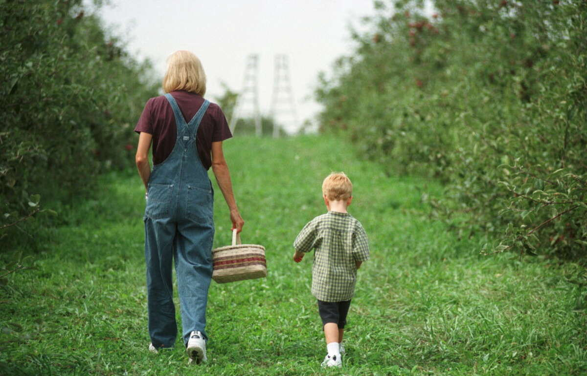 SEPT. 14, 1998-- KATHY AND DANIEL SUCIU OF CLIFTON PARK WALK THE ROWS OF TREES AT THE BOWMAN'S ORCHARD IN REXFORD.