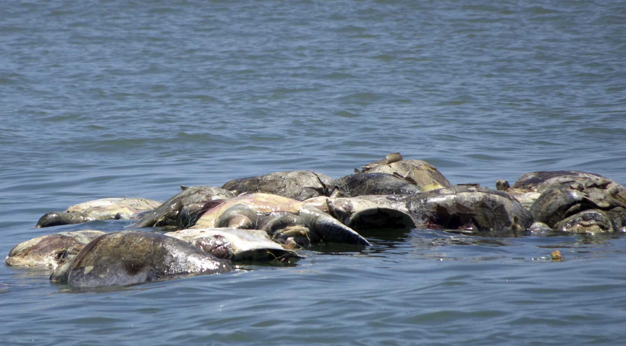 300 Dead Endangered Sea Turtles Found Entangled In Fishing
