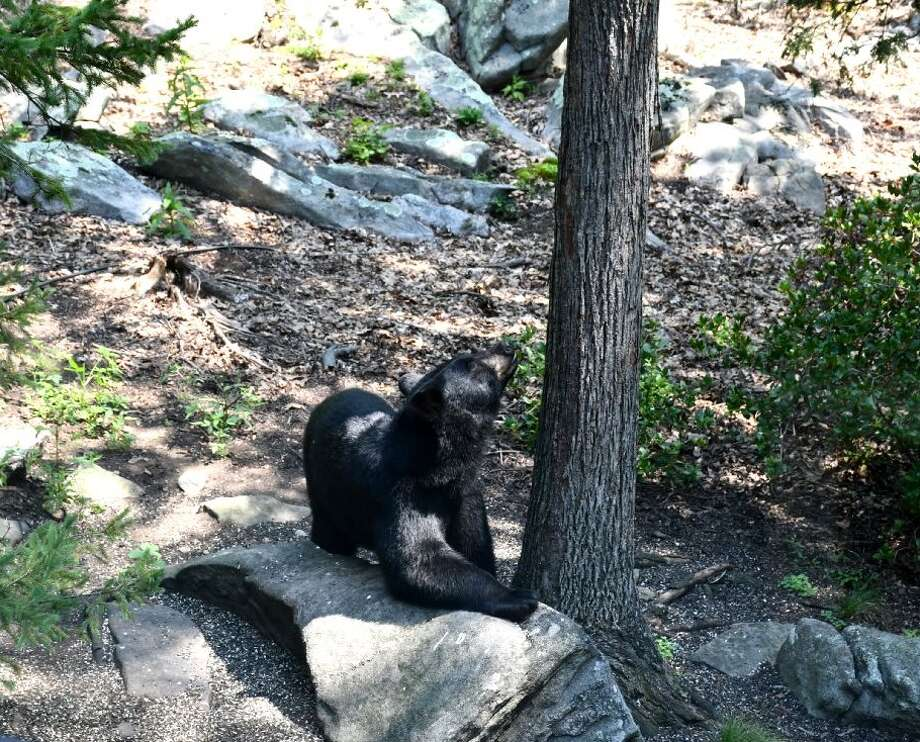 A bear was spotted on the property of a Brookfield resident Wednesday afternoon. Photo: Contributed By Tina Heidrich
