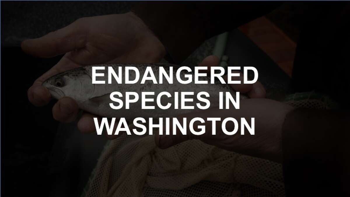 Click through the slideshow to see a list of endangered species in Washington.