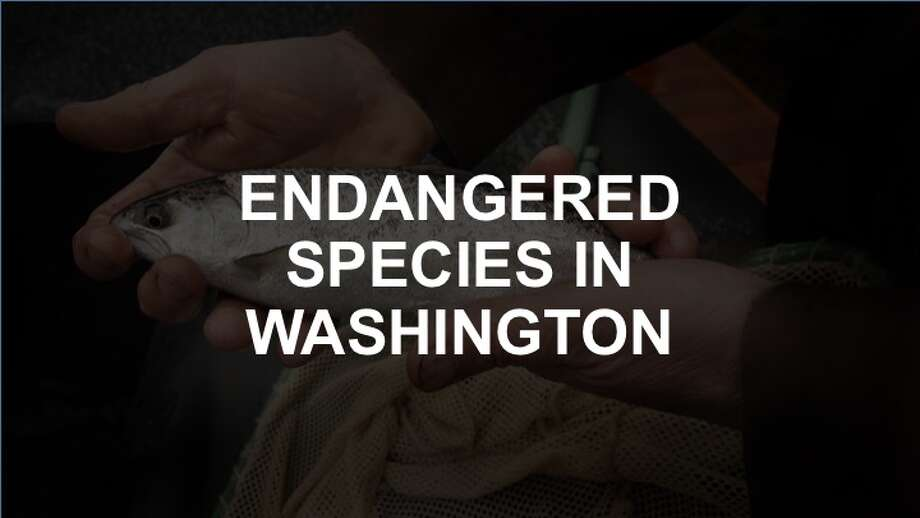 Click through the slideshow to see a list of endangered species in Washington. Photo: Michael Macor/The Chronicle