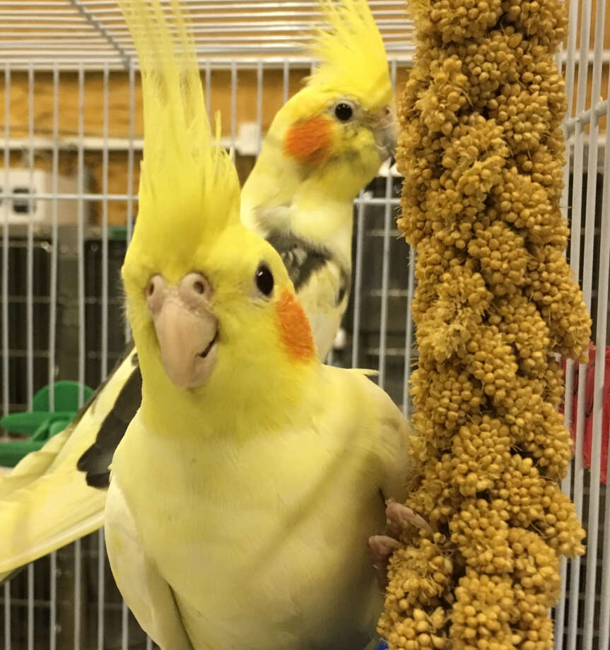 AVAILABLE: Humane Society puts exotic animals up for adoption Cockatiels available for adoption at the Houston Humane Society. >> See other animalsavailable for adoption. Photo: Houston Humane Society