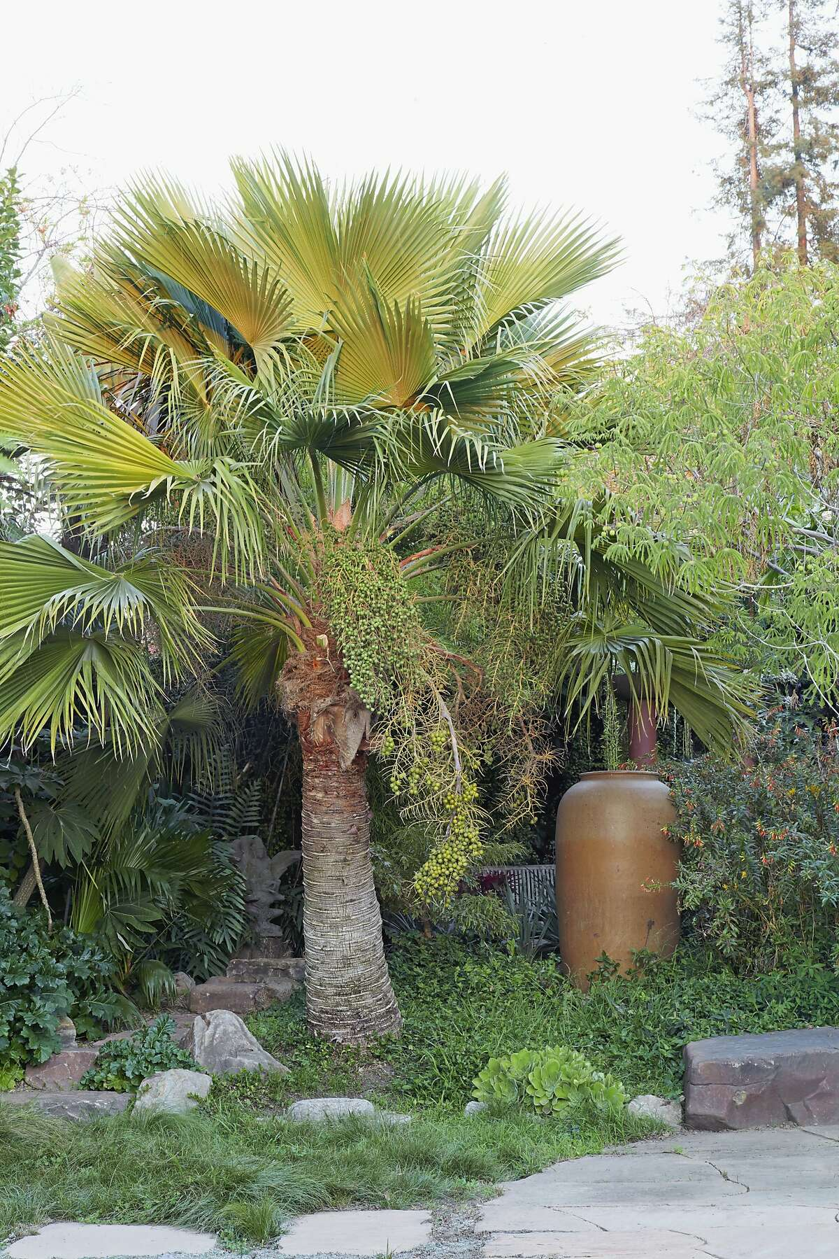 A Guadalupe palm (Butia edulis) forms a fine accent in an Oakland garden.