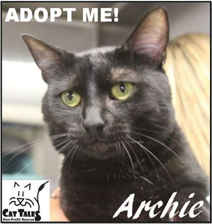 "Name:Archie is a 10-month-old male. He says, ""I'm a sweet, laid back boy who is very social, playful, love to be held and love affection and cuddling. I'm also very playful. However, I need to be the only pet in the house because I'm not accepting of other animals/pets. If you would like a buddy, I'm your cat! Please call Cat Tales and ask to come see me, Archie."" Visit  http://www.CatTalesCT.org/cats/Archie-2, call 860-344-9043 or email: info@CatTalesCT.org. Watch our TV commercial: https://youtu.be/Y1MECIS4mIc Photo: Contributed Photo"