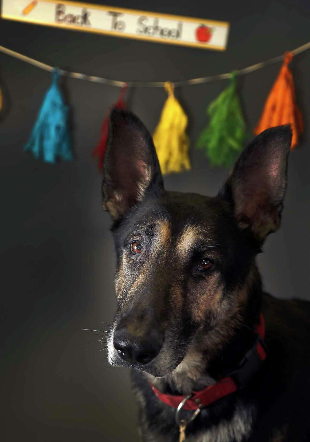 UNKNOWN: (Animal ID: A515719) A 6-year-old male, German Shepherd is available for adoption at the Harris County Animal Shelter, Tuesday, August 28, 2018, in Houston. Adopting a shelter pet, not only teaches children important character-building lessons, but it is also a great way to provide a child with a