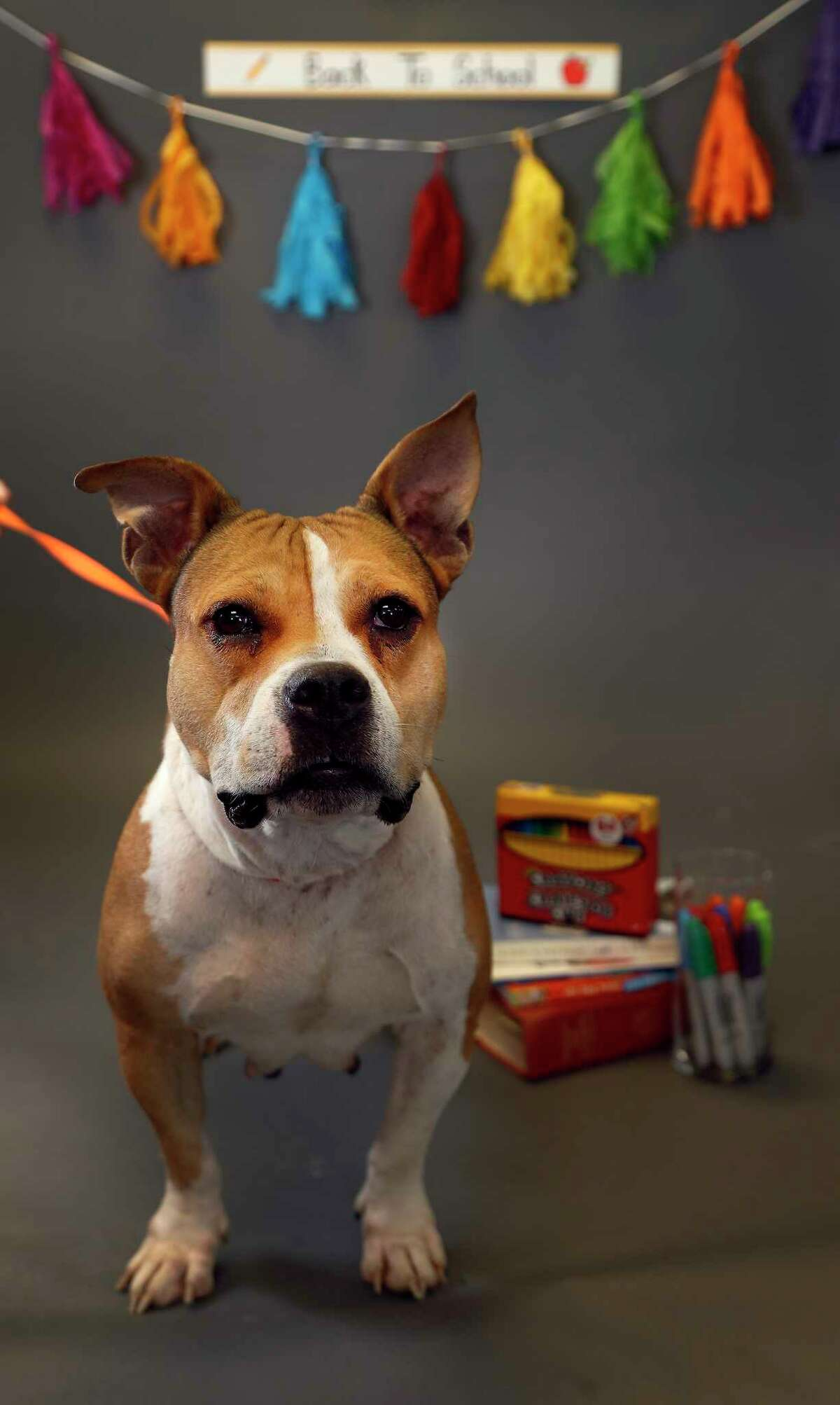 DANA: (Animal ID: A515357) A 4-year-old, female brown pit bull is available for adoption at the Harris County Animal Shelter, Tuesday, August 28, 2018, in Houston. Adopting a shelter pet, not only teaches children important character-building lessons, but it is also a great way to provide a child with a