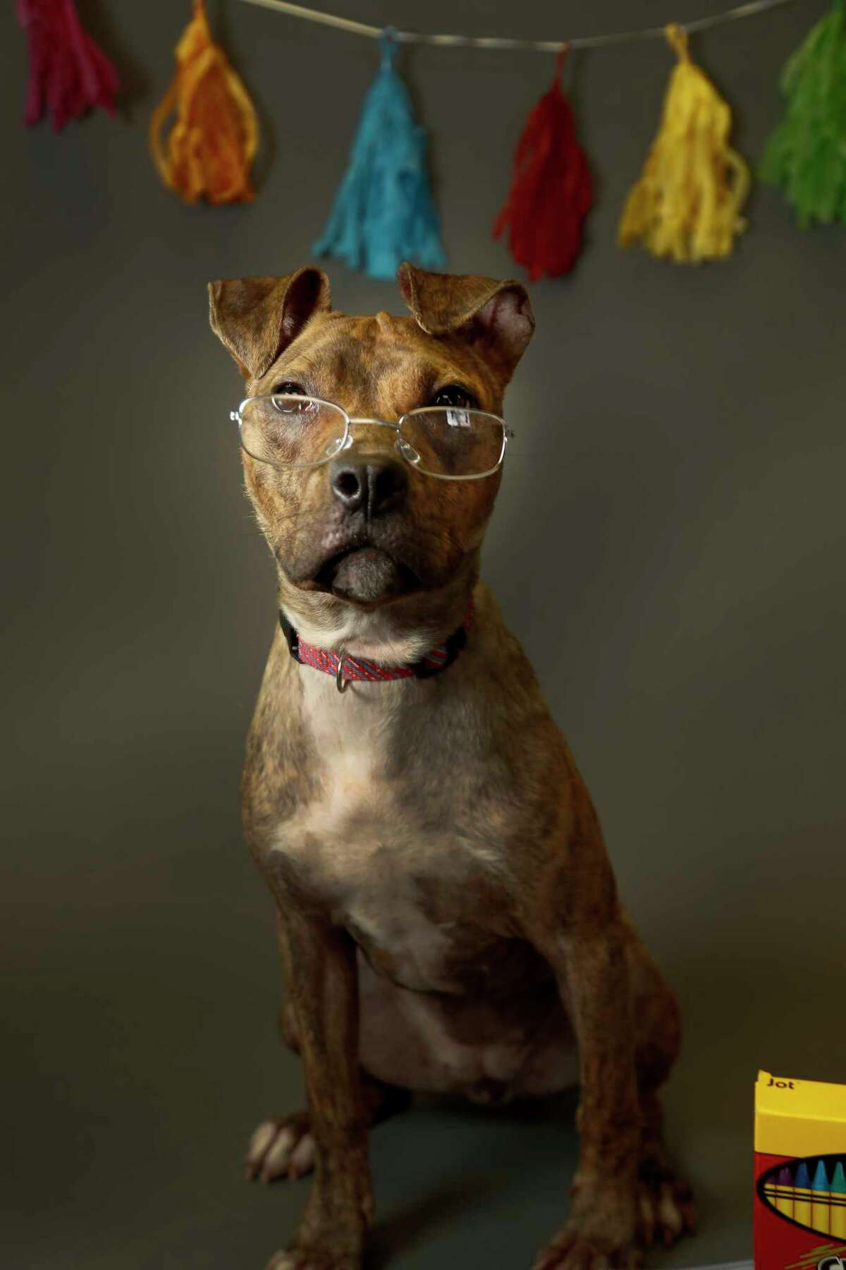 UNKNOWN: (Animal ID: A515621) A 2-year-old female, brindle pit bull mix is available for adoption at the Harris County Animal Shelter, Tuesday, August 28, 2018, in Houston. Adopting a shelter pet, not only teaches children important character-building lessons, but it is also a great way to provide a child with a