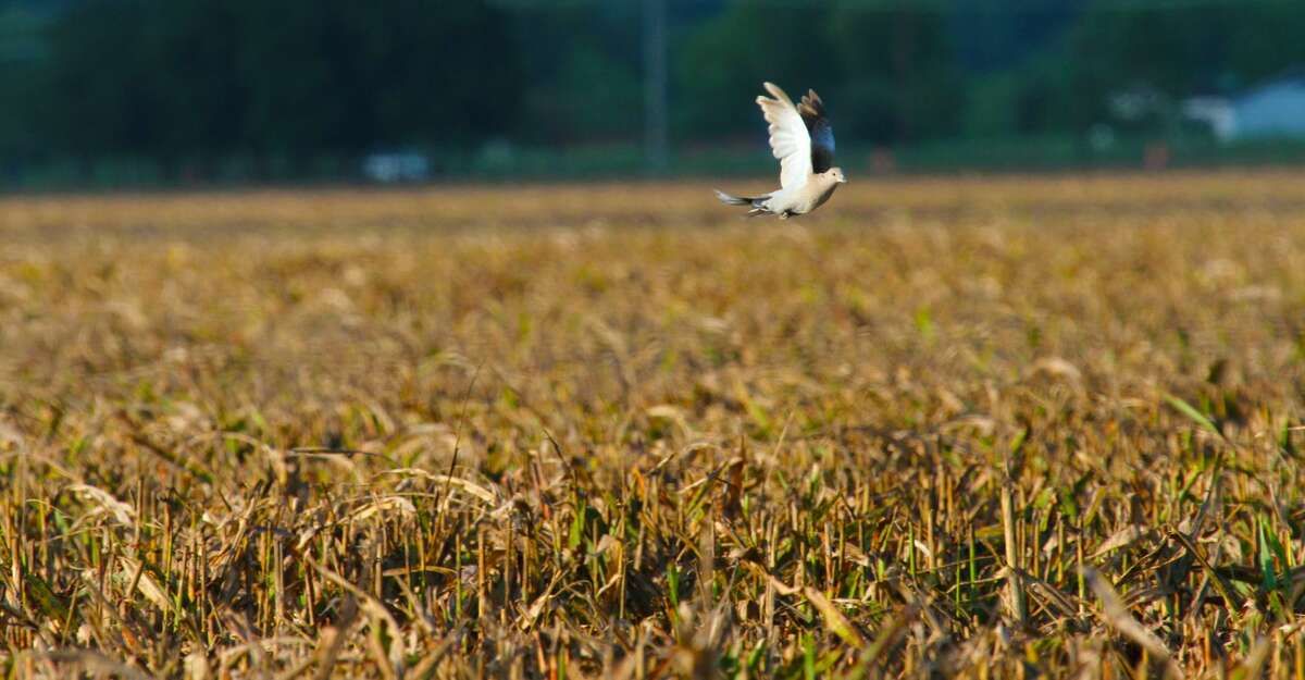 Most wingshooters heading afield for the Sept. 1 opening of dove season will focus on birds coming to feed in agricultural fields such as this recently harvest stand of milo. But with dry, hot conditions, small waterholes also could be highly productive.