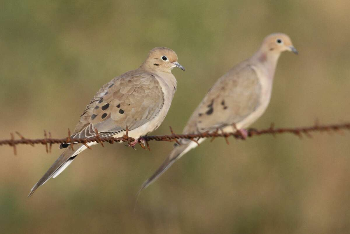 Texas' resident mourning dove population, the largest in the nation, had a good year of nesting, boosting their numbers to 30-40 million birds ahead of the Sept. 1 opening of what wildlife officials expect will be a very productive hunting season for the state's 300,000-plus dove hunters.