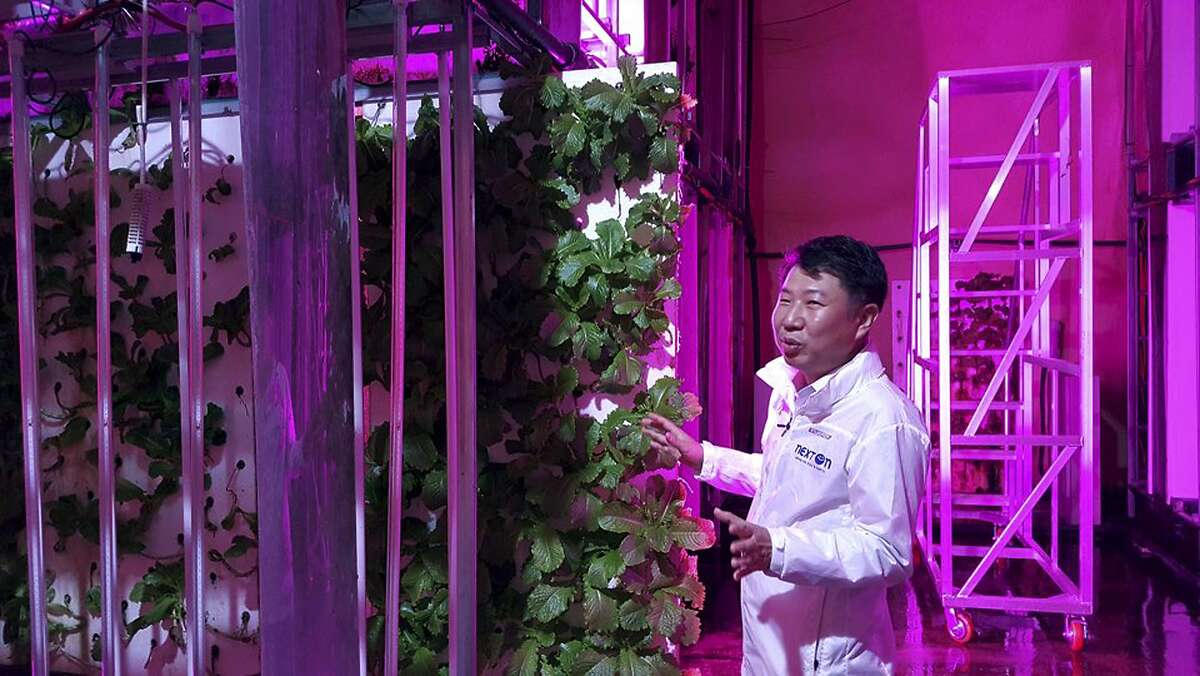 In this Aug. 9, 2018, photo, head of NextOn Choi Jae Bin explains about his farm's crop cultivation system next to sesame leaves growing on vertically stacked styrofoams at the tunnel-based vertical indoor farm NextOn in Okcheon, South Korea. The high-tech farm inside a former tunnel in South Korea is seen as a potential solution to the havoc wreaked on crops by the extreme weather linked to climate change, and to shortages of land and workers as the country ages. (AP Photo/Han Myung Oh)