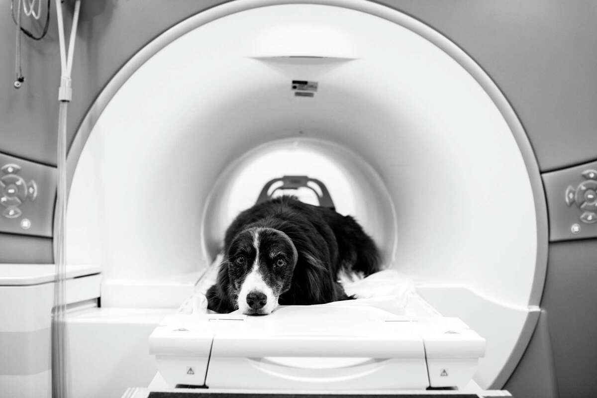Wil, an Australian shepherd, who is part an experiment by Dr. Gregory Berns, on a megnetic resonance imaging machine at Emory University in Atlanta, July 13, 2017. Dr. Berns scans the brains of dogs for glimpses at their inner lives. One conclusion: Fido does love you. Wils head is wrapped with medical gauze to hold in ear-plugs that muffle the noise.