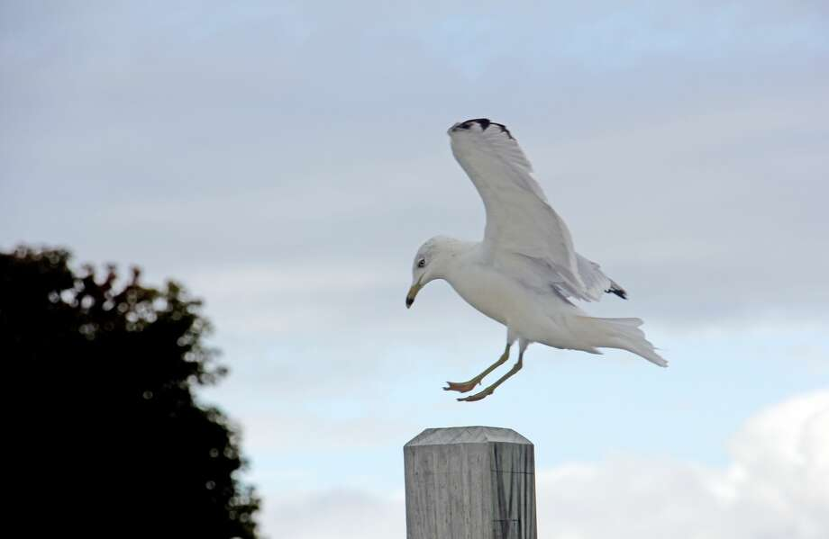 After a late afternoon flight on Wednesday, this seagull prepares to land on a wooden post at the Port Austin Marina. Photo: Bradley Massman/Huron Daily Tribune
