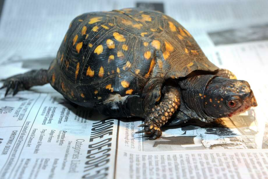 Quincy, an eastern box turtle at the Ansonia Nature Center, in Ansonia, Conn. Aug. 30, 2018. The turtle recently had a mutilated fifth leg amputated. Photo: Ned Gerard / Hearst Connecticut Media / Connecticut Post